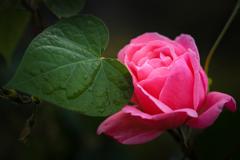 ピンクの薔薇とハート