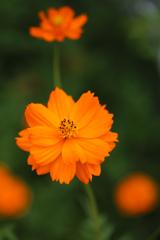 オレンジなのにキバナコスモス
