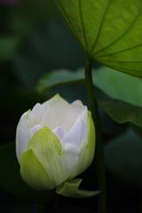 真綿色した蓮の花