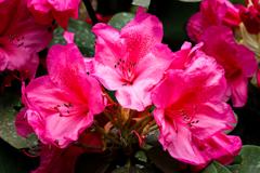 神社の石楠花