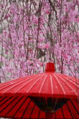 桜の雨が降る