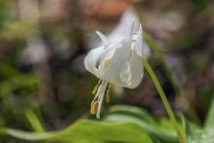 初 白花カタクリ