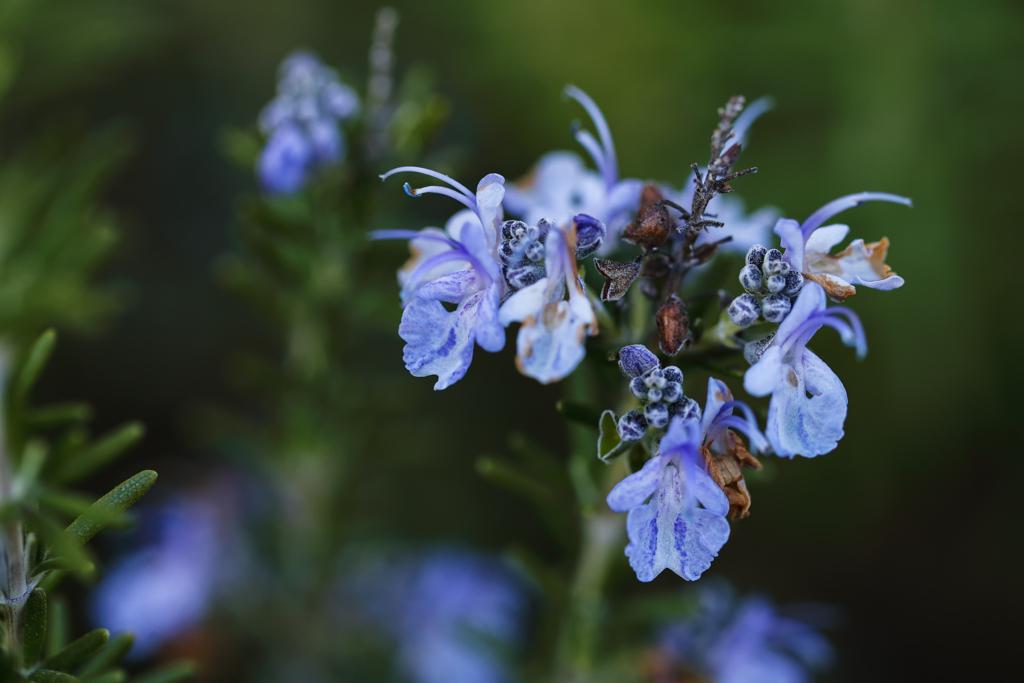 ローズマリーの上品な青