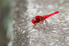 A Red Dragonfly