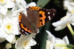 蝶と水仙 ①