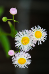 路傍の春紫苑