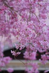 ピンクに染まる光福寺