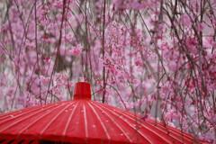 桜雨じゃ 濡れて行こう