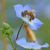 ミツバチとネモフィラ