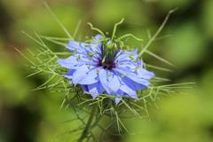この花の魅力からはニゲラれない