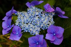 高原の紫陽花 ➁