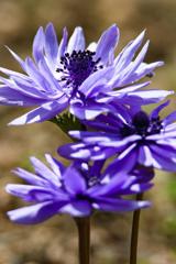 近所の青い花