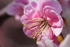 A plum blossom