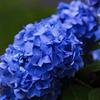 高原の紫陽花 ①