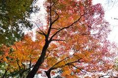 乙女渓谷の紅葉 1