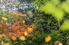 乙女渓谷の秋 ~秋のホタル~