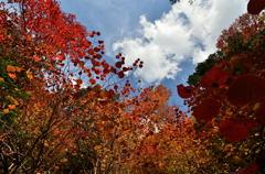 乙女渓谷の紅葉 4