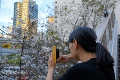 陸橋横の桜