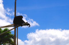 Papa Monkey