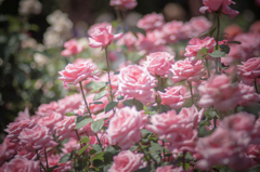 rose collection 5