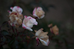 Withered roses