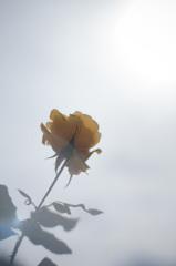 極月の薔薇