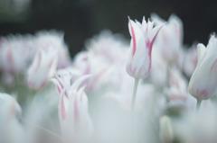 tulip à la carte