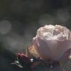 睦月の薔薇