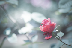 rose collection 8