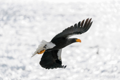 Seller's sea eagle