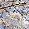 画面いっぱいの、桜