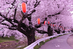 Falling cherry blossoms...