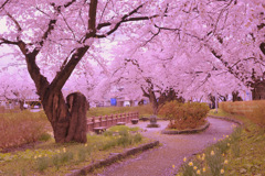 Under full bloom...