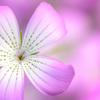 魅惑の花色