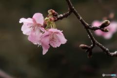 桜が咲き始めました! -2