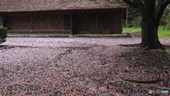 桜、舞い散るとき
