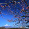 梅と富士 (246T)