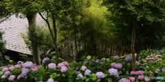 紫陽花咲く境内