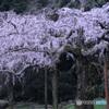 枝垂れ、咲く -262T