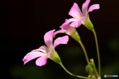 裏庭に咲くムラサキカタバミ  (355T)
