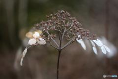 冬のアジサイ -2