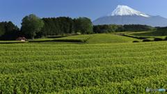 萌黄色のお茶畑
