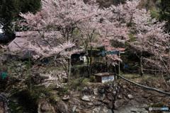 民家の庭先に咲く桜 (438T)