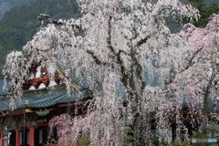 祖師堂に咲く枝垂れ桜