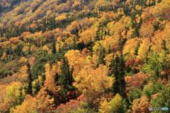 黄金色に染まる秋 (487T)