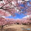 桜、独り占め (351T)