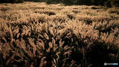 チカラシバ輝く草原