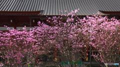 ミツバツツジ咲く境内 -2