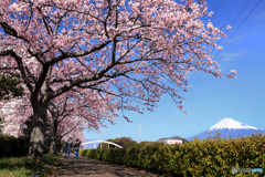 桜と富士の散歩道