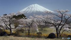 桜咲く頃 (434T)